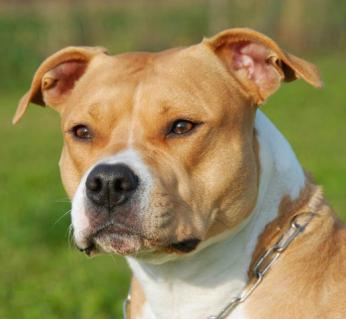 American staffordshire terrier 657