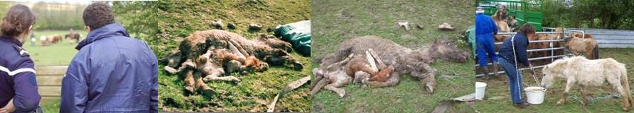 Poneys morts